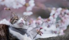 Pronóstico de florecimiento del Sakura en Japón 2015
