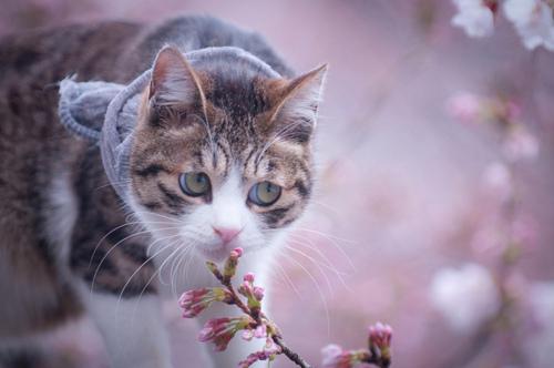 Hanami cats 3