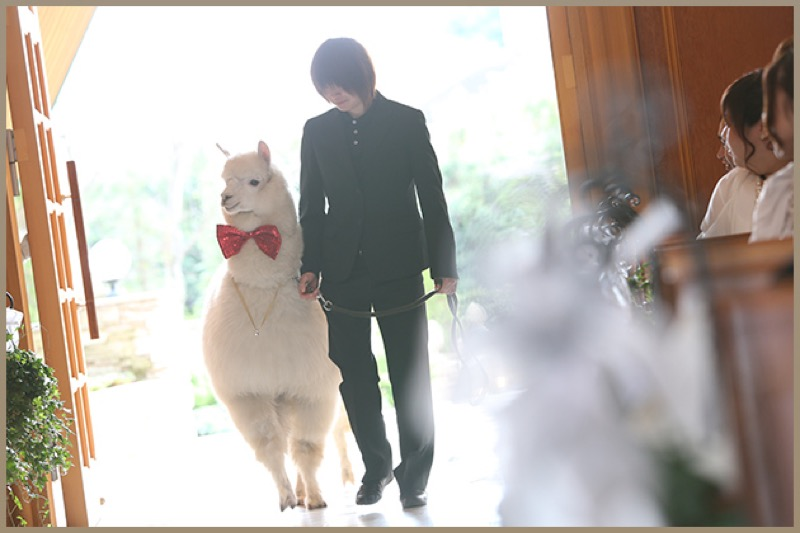 Alpaca Japanese Wedding 3