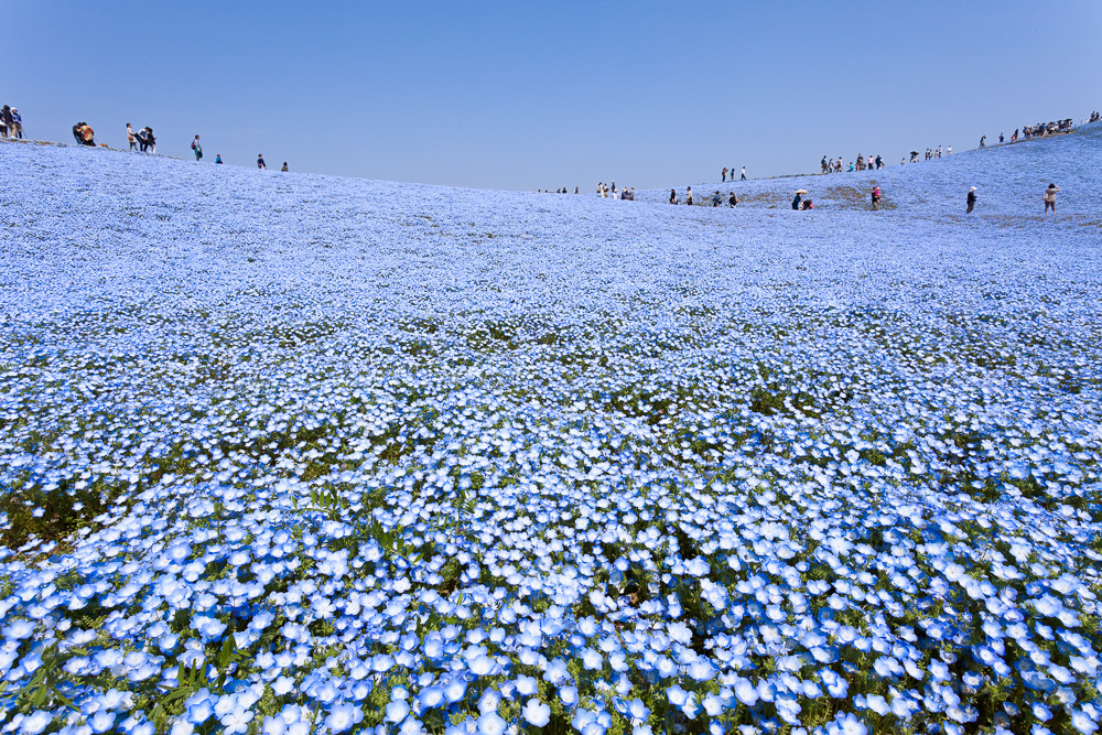 hitachi-seaside-park-nemophila-1