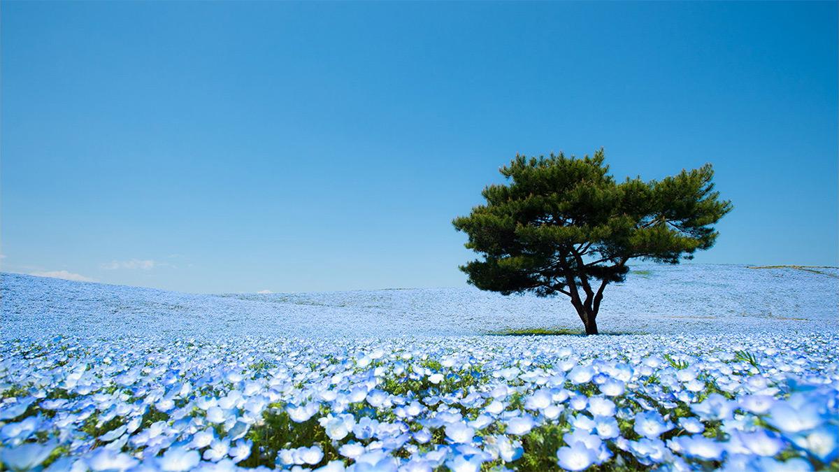 hitachi-seaside-park-nemophila-2