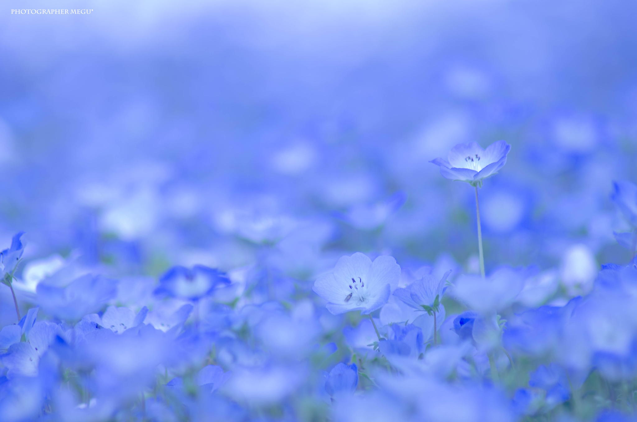 hitachi-seaside-park-nemophila-3
