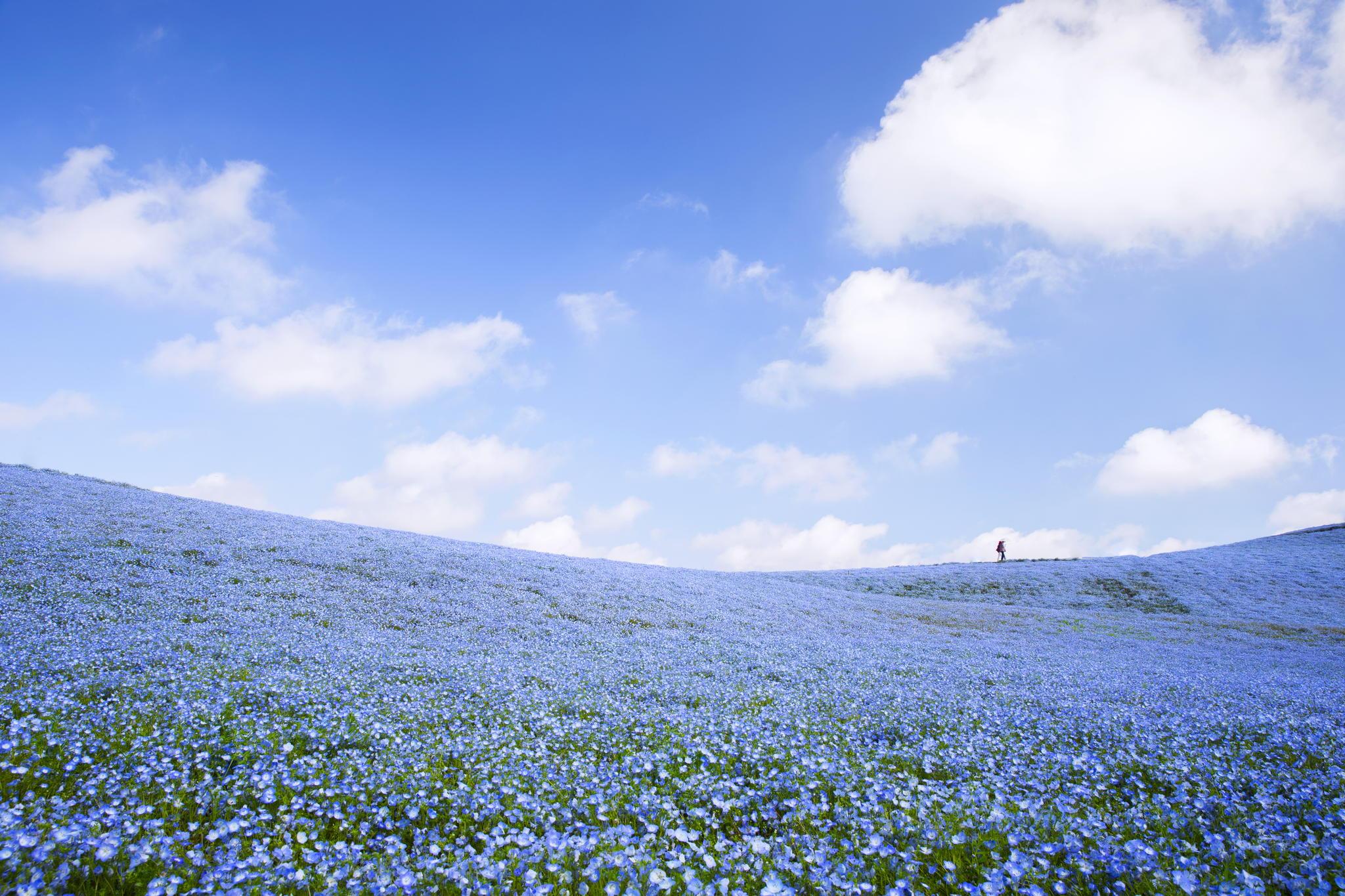 hitachi-seaside-park-nemophila-4