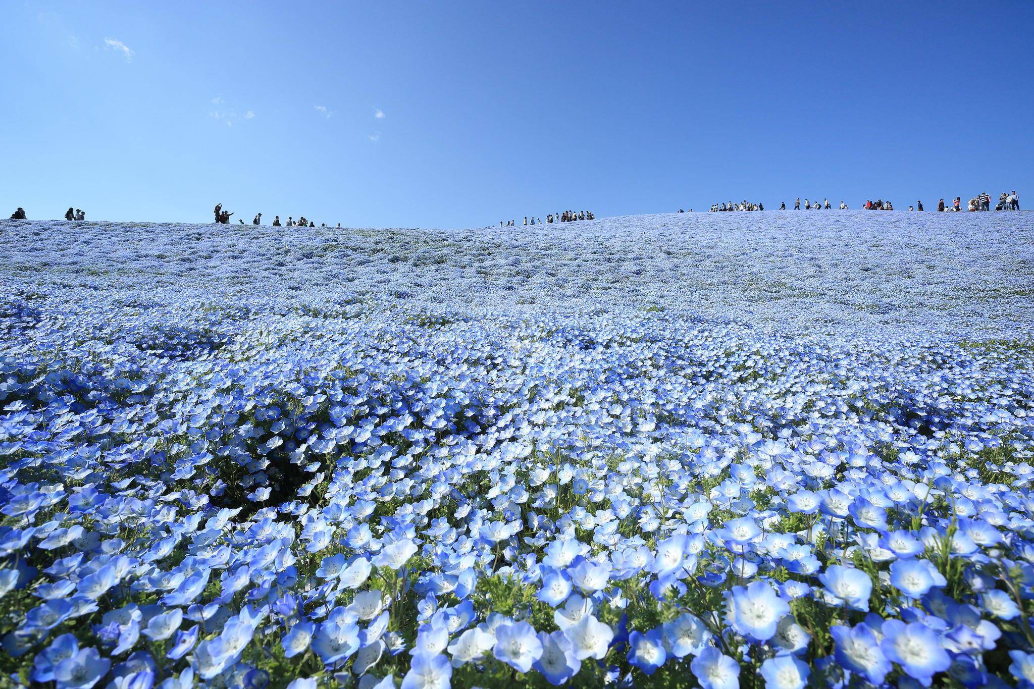hitachi-seaside-park-nemophila-5